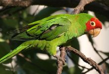 Extended study reveals why are parrots one of the most threatened avian orders