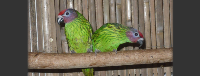 Breeding of the Goldie's Lorikeet. PART II