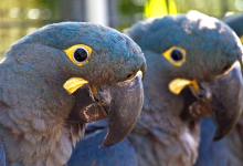 Nine Lear's Macaws raised in Loro Parque Foundación relocated to Brazil