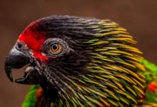 Chalcopsitta lories – taxonomy, biology and breeding. PART I