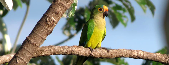 Breeding of the Peach-fronted Conure. PART I