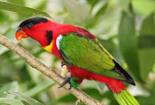 Yellow bibbed Lory (Lorius chlorocercus): biology and breeding, by Gert van Dooren. PART I