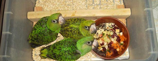 Breeding of the Lesser Jardine's Parrot. PART I