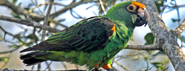Breeding of the Lesser Jardine's Parrot. PART II
