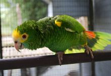 Breeding of the Yellow-shouldered Amazon. PART I