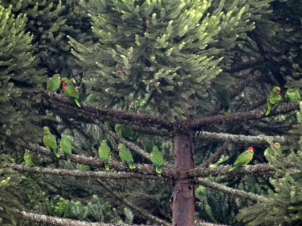 4. Amazona pretrei_flock in Araucaria_AMA_mr