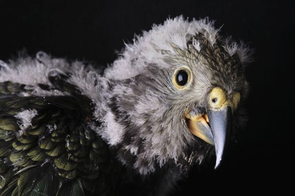 Kea-parrot-chick-8-weeks-old