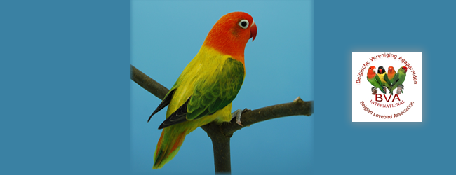 New mutation of Fischer's Lovebird – Agapornis fischeri: Opaline Euwing
