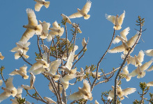 Stirling council agreed to release 3300$ for shooting of feral corellas