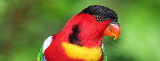 Yellow-bibbed Lory ( Lorius chlorocercus ): biology and breeding, by Gert van Dooren, PART II
