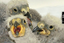 Good start of breeding season at Loro Parque Fundación: 4 chicks of Kea Parrot, 7 chicks of Pesquet's Parrot