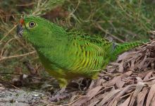 Friends of the Western Ground Parrot update (March 2016)
