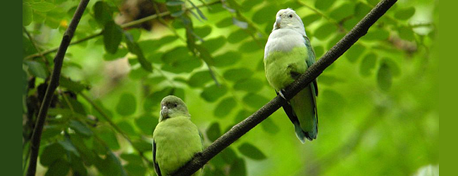 Keeping and breeding of the Grey-headed Lovebird (Agapornis canus). PART I