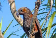 Rapid growth of Kaka Parrot population in Zealandia wildlife sanctuary