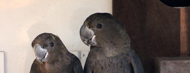 Will ACTP breed the Glossy Black Cockatoo for the first time in Europe?