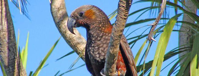 Rapid growth of Kaka Parrot population in Zealandia wildlife sanctuary