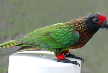 Characterization of all Chalcopsitta lories: Yellow-streaked Lory, Duyvenbodei Lory, Black Lory and Cardinal Lory. PART II
