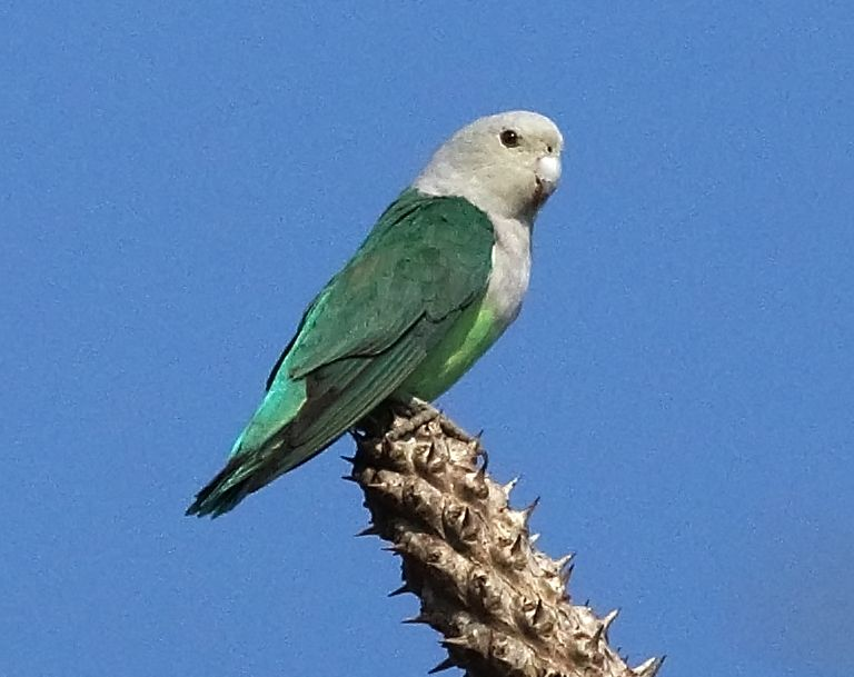 Grey-headed Lovebird (Agapornis canus)