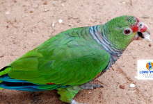 Loro Parque Fundación project confirms endangered status of the Vinaceous-breasted Parrot