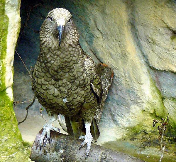 kea-parrot-nestor-notabilis-liberec-zoo