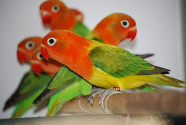 Fischer's Lovebird Opaline Euwing mutation offspring