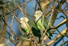 Grey-headed Lovebirds breeding. PART II