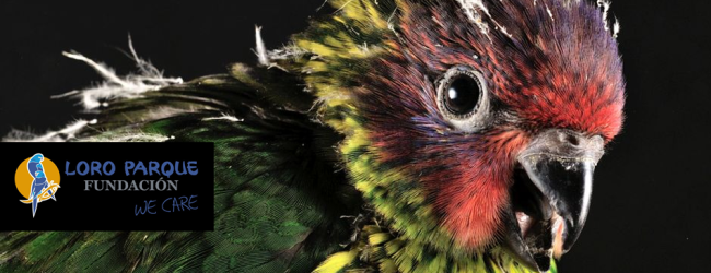 Loro Parque has already raised over 200 parrot chicks in this season, including many lories
