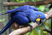 All about Hyacinth Macaw keeping and breeding. PART II