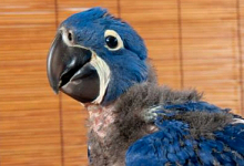 All about Hyacinth Macaw keeping and breeding. PART III