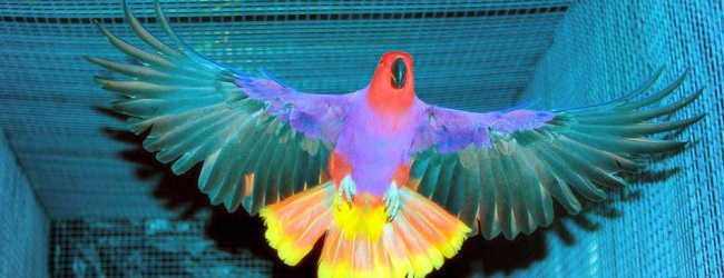 How to identify eclectus parrot subspecies? PART I