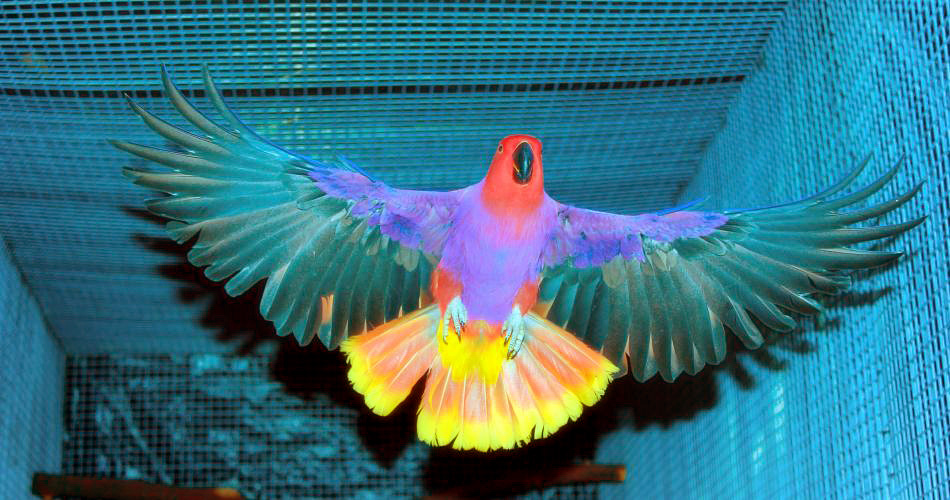 Eclectus Parrot Subspecies Identification | Parrot Facts