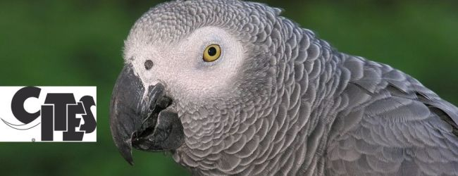 African Grey Parrot going to be classified as CITES I species