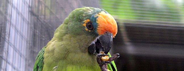 Breeding of the Peach-fronted Conure. PART II