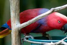 How to identify eclectus parrot subspecies? PART II
