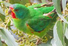 Australian Swift Parrot classified as critically endangered