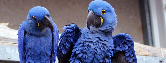 All about Hyacinth Macaw keeping and breeding. PART I