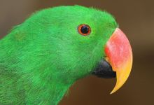 How to identify Eclectus Parrot subspecies. PART III