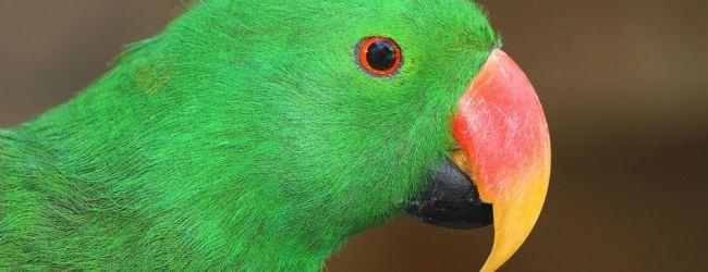 How to identify Eclectus Parrot subspecies. PART III
