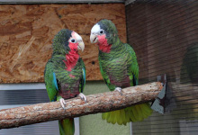 "Q & A: ""What is optimal diet and aviary design for Amazona parrots breeding?"""