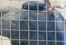 Al Wabra has already 100 Spix's Macaws, two chicks are being raised under their parents