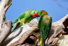 Little Lorikeet (Glossopsitta pusilla) breeding and keeping. PART II