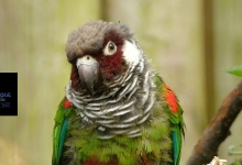 More than 350 parrot chicks have been ringed at Loro Parque in this season