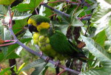 Number of the wild Yellow-eared Parrots has been increased 50 times in the last 17 years