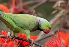 Seychellois government has spent one million US dollars to eradicate invasive parrots
