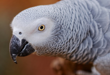 "Q & A: ""Do African Grey Parrots need dark cages to breed?"""