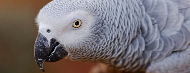 African Grey Parrot Breeding Season African Grey Parrot