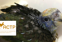 Latest news from ACTP: 2 Spix's Macaws and 1 St Vincent Amazon hatched, 9 Lear's Macaws imported from Qatar