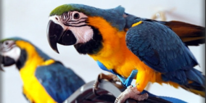 First parrot harness succeeded in strength test