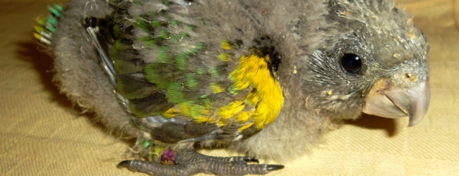 Successful breeding of the Meyer's Parrot. PART I