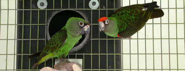 "Q & A: ""Should the parrot nest be examined and if so how often?"""